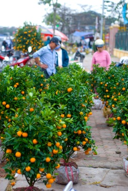 lunar new year - kumquat trees - by 14 shades of grey