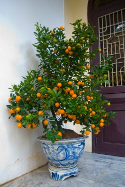 lunar new year - kumquat tree - by 14 shades of grey