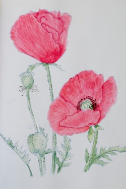 coloring - poppies by 14 shades of grey